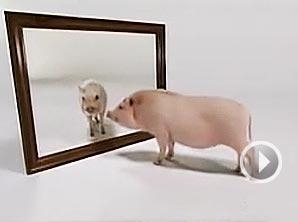 """视频:小猪幼年被""""情感剥夺""""会怎么样?"""